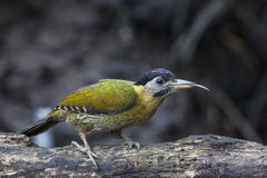 Bird: Woodpecker Stock Image