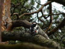 Bird woodpecker Royalty Free Stock Photos