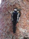 Bird woodpecker Royalty Free Stock Photo
