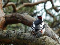 Bird woodpecker Royalty Free Stock Image