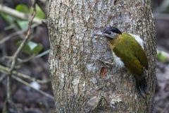 Bird: Woodpecker Royalty Free Stock Photos