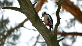 Bird woodpecker knocking on wood wildlife red feathers. Bird woodpecker knocking wood wildlife red feathers Stock Image