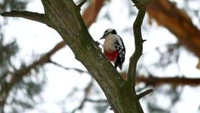 Bird woodpecker knocking on wood wildlife red feathers. Bird woodpecker knocking wood wildlife red feathers Stock Photos