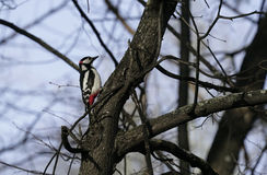 Bird woodpecker in natural habitat. The woodpecker moves quickly through the trees, finds food and eats it. Sunny spring day in th Stock Photography