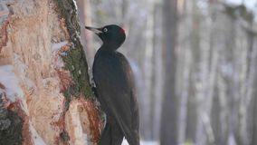 The bird is a Woodpecker sitting on the tree and beak knocks on wood. Winter forest. The bird is a Woodpecker sitting on the tree and beak knocks on wood Stock Photo
