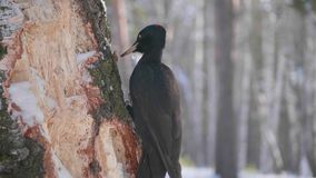 The bird is a Woodpecker sitting on the tree and beak knocks on wood. Winter forest. The bird is a Woodpecker sitting on the tree and beak knocks on wood Royalty Free Stock Image