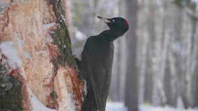 The bird is a Woodpecker sitting on the tree and beak knocks on wood. Winter forest. The bird is a Woodpecker sitting on the tree and beak knocks on wood Stock Photos