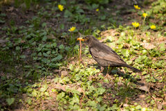 Bird and Worm. Black bird caught the worm on a glade Royalty Free Stock Images
