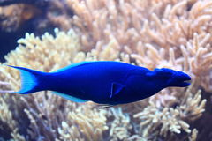 Bird wrasse Stock Photo
