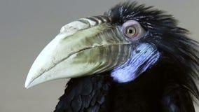 Bird, Wreathed hornbill stock video footage