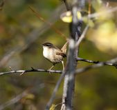 Bird wren Royalty Free Stock Photography