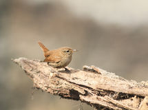 Bird the Wren is sitting on the root of the tree in the Royalty Free Stock Photography