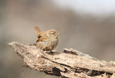 Bird Wren sitting on the root of the tree in the spring in the w Stock Photo