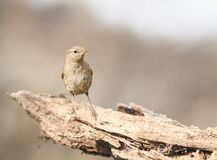 Bird Wren sitting on the root of the tree in the spring in the w Royalty Free Stock Image
