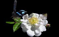 Bird, Wren, On, White, Rose Royalty Free Stock Images