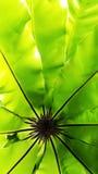 Bird& x27; s gniazduje paprociowego tropikalnego zielonego liść, kontrast Zdjęcia Stock