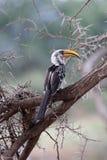 Bird with yellow beak in acacia tree. Bird with bright yellow beak in thorny acacia tree stock image