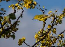 Bird on the yellow blossom Royalty Free Stock Photos