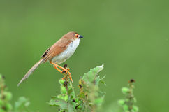 Bird (Yellow-eyed Babbler) , Thailand Stock Photo
