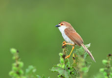 Bird (Yellow-eyed Babbler) , Thailand Stock Image