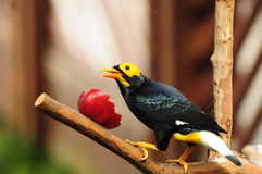Bird --- yellow-faced Mynah Royalty Free Stock Photos