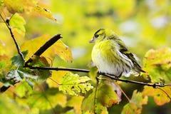 Bird, Yellow, Fauna, Beak Stock Photo