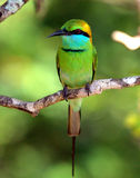 Bird. Yellow, green and blue bird sitting on a branch Stock Image
