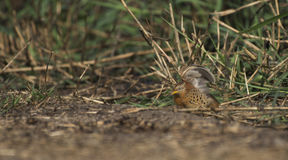 Bird, Yellow-legged Buttonquail Turnix tanki Stock Photography