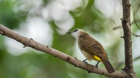 Bird (Yellow-vented Bulbul) on tree in nature wild. Bird (Yellow-vented Bulbul, Pycnonotus goiavier) black, yellow and brown color perched on a tree in a nature Stock Images