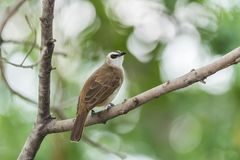 Bird (Yellow-vented Bulbul) on tree in nature wild. Bird (Yellow-vented Bulbul, Pycnonotus goiavier) black, yellow and brown color perched on a tree in a nature Royalty Free Stock Image