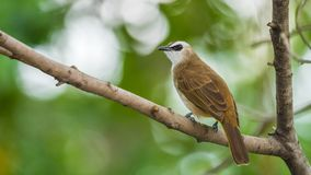 Bird (Yellow-vented Bulbul) on tree in nature wild. Bird (Yellow-vented Bulbul, Pycnonotus goiavier) black, yellow and brown color perched on a tree in a nature Royalty Free Stock Images