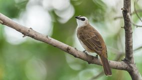 Bird (Yellow-vented Bulbul) on tree in nature wild. Bird (Yellow-vented Bulbul, Pycnonotus goiavier) black, yellow and brown color perched on a tree in a nature Stock Photography