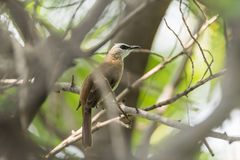 Bird (Yellow-vented Bulbul) on tree in nature wild. Bird (Yellow-vented Bulbul, Pycnonotus goiavier) black, yellow and brown color perched on a tree in a nature Royalty Free Stock Photography