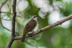 Bird (Yellow-vented Bulbul) on tree in nature wild. Bird (Yellow-vented Bulbul, Pycnonotus goiavier) black, yellow and brown color perched on a tree in a nature Stock Image