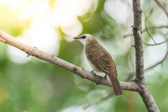 Bird (Yellow-vented Bulbul) on tree in nature wild. Bird (Yellow-vented Bulbul, Pycnonotus goiavier) black, yellow and brown color perched on a tree in a nature Royalty Free Stock Photos