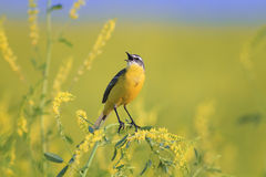 Bird the yellow Wagtail sings among the flowers on a Sunny meadow in the summer Royalty Free Stock Photos