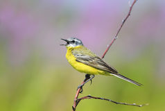 Bird is the yellow Wagtail sings while sitting on a Sunny bright Royalty Free Stock Image