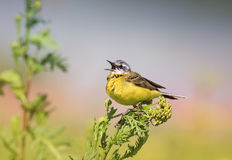 Bird yellow Wagtail sitting on a meadow and leaping colors sings Stock Image