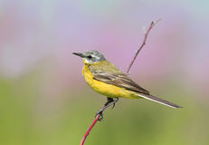 Bird yellow Wagtail sitting on a summer meadow on a branch Stock Images