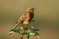 Bird Yellowhammer, Emberiza citrinella Stock Image