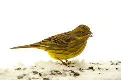 Bird Yellowhammer (Emberiza citrinella) Royalty Free Stock Images