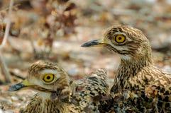 Bird with yellows eyes Stock Photo