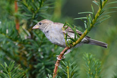 Bird on yew. Bird (Passer domesticus) is sitting on yew (Taxus baccata royalty free stock image