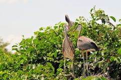 Bird, young great blue heron birds in nest Royalty Free Stock Image