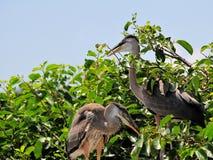 Bird, young great blue heron birds in wetland Stock Photo