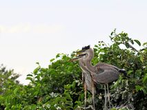 Bird, young great blue herons in wetlands Royalty Free Stock Images