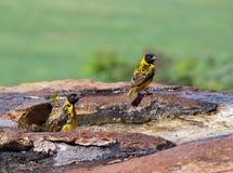 Birdbath Fotografía de archivo