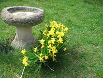 Birdbath and daffodils. A birdbath on the lawn. Next to the birdbath daffodils are growing and in flower Royalty Free Stock Image