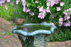 Birdbath splashing. Female Blackbird splashing in a birdbath Royalty Free Stock Photos
