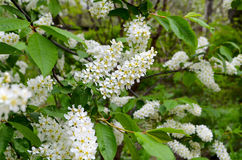 Birdcherry tree Royalty Free Stock Images